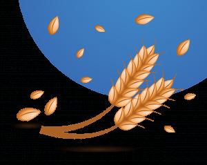blé en épis avec grain
